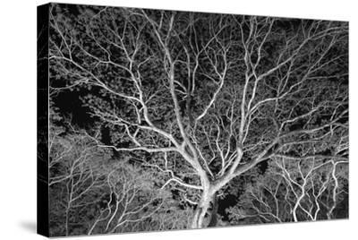 Costa Rica Tree-Moises Levy-Stretched Canvas Print