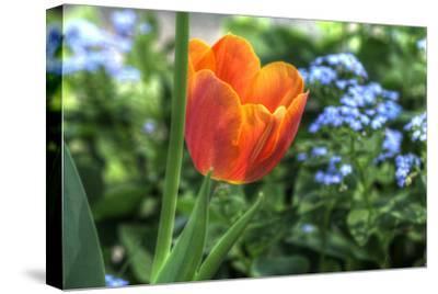Tulip Blue Background-Robert Goldwitz-Stretched Canvas Print