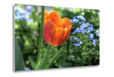 Tulip Blue Background-Robert Goldwitz-Metal Print