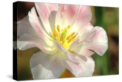 Tulip Pink CU-Robert Goldwitz-Stretched Canvas Print