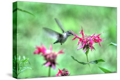 Hummingbird 2-Robert Goldwitz-Stretched Canvas Print