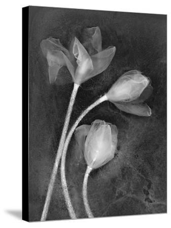 Tulipanes-Moises Levy-Stretched Canvas Print