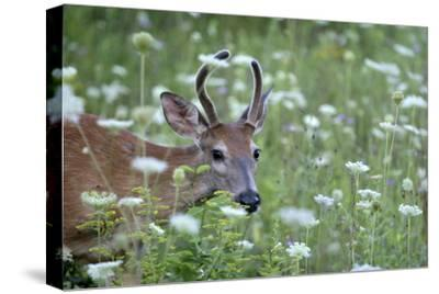 Young Buck-Robert Goldwitz-Stretched Canvas Print