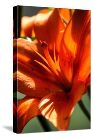 Tiger Lillies VI-Robert Goldwitz-Stretched Canvas Print