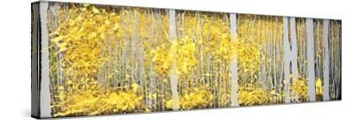 Panor Aspens Grey Forest-Roderick E. Stevens-Stretched Canvas Print