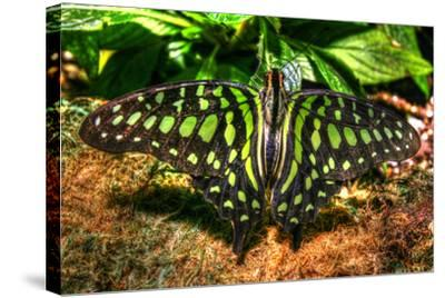 Butterfly 3-Robert Goldwitz-Stretched Canvas Print