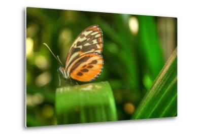 Butterfly 1-Robert Goldwitz-Metal Print