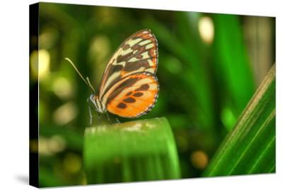 Butterfly 1-Robert Goldwitz-Stretched Canvas Print