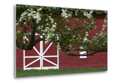 Spring Blossoms Red Barn-Robert Goldwitz-Metal Print