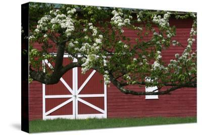 Spring Blossoms Red Barn-Robert Goldwitz-Stretched Canvas Print