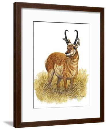 Pronghorn-Tim Knepp-Framed Giclee Print