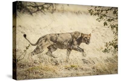 Namibia, Damaraland, Palwag Concession. Stalking Lion Stalking-Wendy Kaveney-Stretched Canvas Print