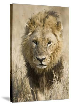 Okavango Delta, Botswana. Close-up of a Male Lion Approaching Head On-Janet Muir-Stretched Canvas Print