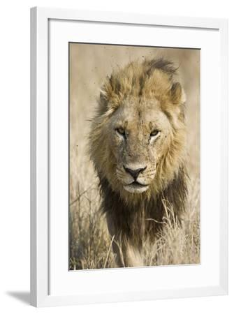 Okavango Delta, Botswana. Close-up of a Male Lion Approaching Head On-Janet Muir-Framed Photographic Print