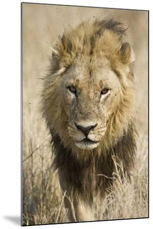 Okavango Delta, Botswana. Close-up of a Male Lion Approaching Head On-Janet Muir-Mounted Photographic Print