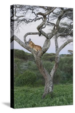 Lionness Lies in an Acacia, Ngorongoro Conservation Area, Tanzania-James Heupel-Stretched Canvas Print
