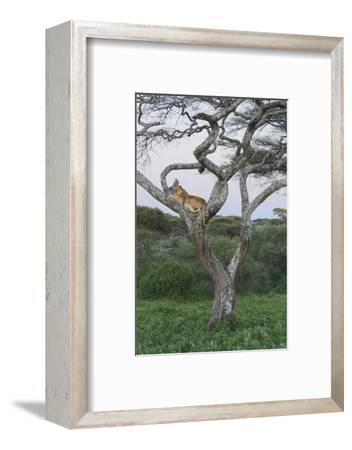 Lionness Lies in an Acacia, Ngorongoro Conservation Area, Tanzania-James Heupel-Framed Photographic Print