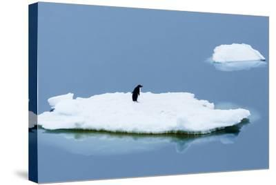 Lemaire Channel, Antarctica. Adelie Penguin Rests on Sea Ice-Janet Muir-Stretched Canvas Print
