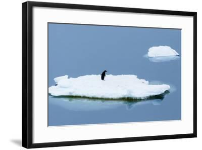 Lemaire Channel, Antarctica. Adelie Penguin Rests on Sea Ice-Janet Muir-Framed Photographic Print