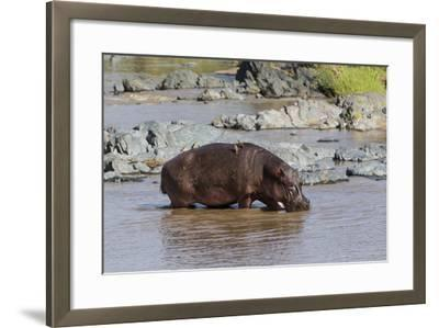 Four Oxpecker Birds Perch on Back of Hippo, Landscape View-James Heupel-Framed Photographic Print