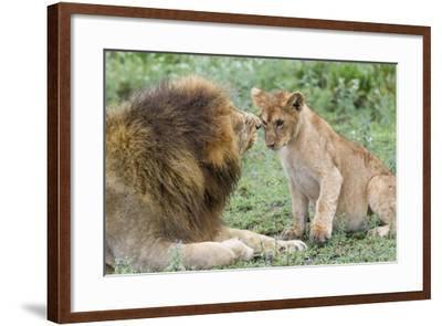 Adult Male Lion Father Growls at Female Cub, Ngorongoro, Tanzania-James Heupel-Framed Photographic Print