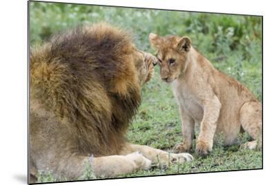 Adult Male Lion Father Growls at Female Cub, Ngorongoro, Tanzania-James Heupel-Mounted Photographic Print