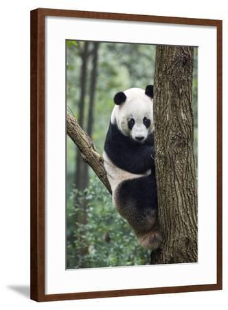 China, Sichuan, Chengdu, Giant Panda Bear at Chengdu Research Base-Paul Souders-Framed Photographic Print