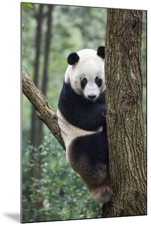 China, Sichuan, Chengdu, Giant Panda Bear at Chengdu Research Base-Paul Souders-Mounted Photographic Print
