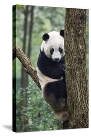 China, Sichuan, Chengdu, Giant Panda Bear at Chengdu Research Base-Paul Souders-Stretched Canvas Print