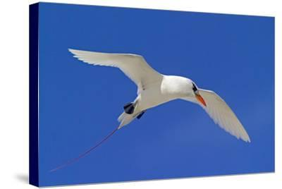 Cook Islands, South Pacific. Red-Tailed Tropicbird-Janet Muir-Stretched Canvas Print