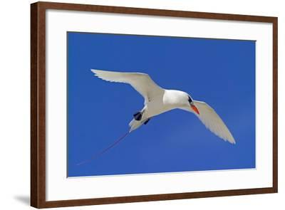 Cook Islands, South Pacific. Red-Tailed Tropicbird-Janet Muir-Framed Photographic Print