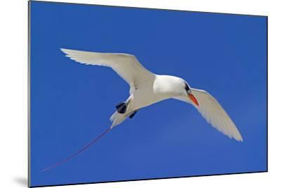 Cook Islands, South Pacific. Red-Tailed Tropicbird-Janet Muir-Mounted Photographic Print