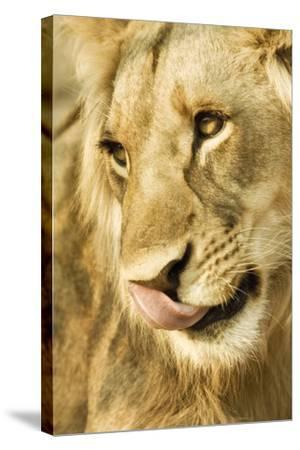 Livingston, Zambia. Close-up of a Male Lion Licking His Nose-Janet Muir-Stretched Canvas Print