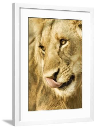 Livingston, Zambia. Close-up of a Male Lion Licking His Nose-Janet Muir-Framed Photographic Print