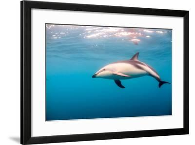 A Dusky Dolphin Swimming, South Island, New Zealand-James White-Framed Photographic Print