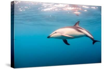 A Dusky Dolphin Swimming, South Island, New Zealand-James White-Stretched Canvas Print