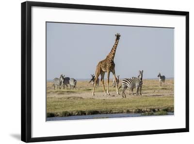 Kenya, Amboseli NP, Maasai Giraffe with Burchell's Zebra at Water Hole-Alison Jones-Framed Photographic Print