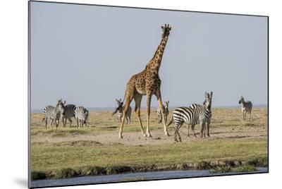 Kenya, Amboseli NP, Maasai Giraffe with Burchell's Zebra at Water Hole-Alison Jones-Mounted Photographic Print