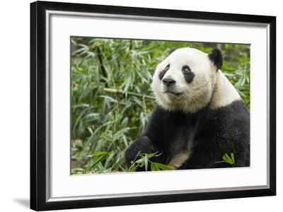 China, Sichuan, Chengdu, Giant Panda Bear Feeding on Bamboo Shoots-Paul Souders-Framed Photographic Print