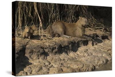 Capybara, Northern Pantanal, Mato Grosso, Brazil-Pete Oxford-Stretched Canvas Print