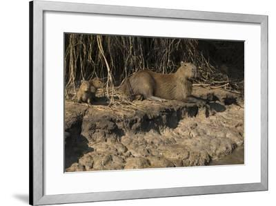 Capybara, Northern Pantanal, Mato Grosso, Brazil-Pete Oxford-Framed Photographic Print
