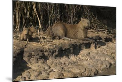 Capybara, Northern Pantanal, Mato Grosso, Brazil-Pete Oxford-Mounted Photographic Print