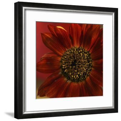 Red Sunflower Close-up-Anna Miller-Framed Photographic Print