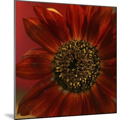 Red Sunflower Close-up-Anna Miller-Mounted Photographic Print