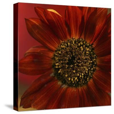 Red Sunflower Close-up-Anna Miller-Stretched Canvas Print