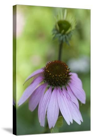 Pink Coneflowers-Anna Miller-Stretched Canvas Print