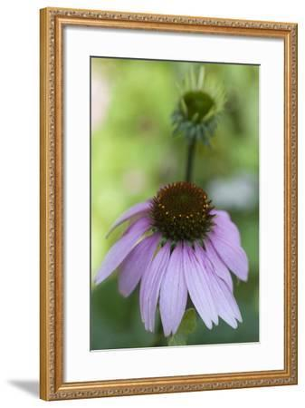 Pink Coneflowers-Anna Miller-Framed Photographic Print