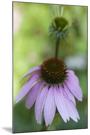 Pink Coneflowers-Anna Miller-Mounted Photographic Print