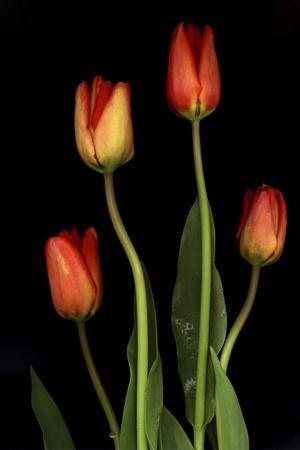 Tulips on Black Background-Anna Miller-Framed Photographic Print
