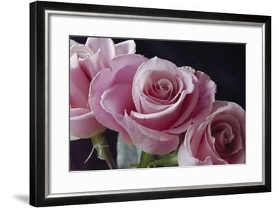 Pink Roses-Anna Miller-Framed Photographic Print